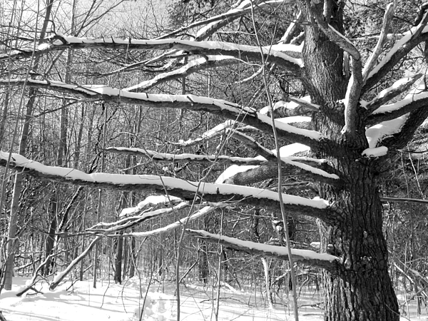 Snow Photograph - Tree In The Forest by Douglas Pike