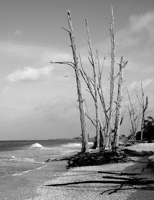 Beaches Photograph - Trees On The Beach Black And White by Rosalie Scanlon