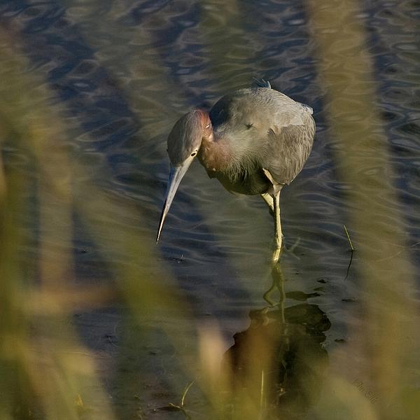Nature Photograph - Tri-colored Heron by John Ellis
