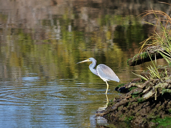 Tricolored Heron Photograph - Tricolored Heron Fishing by Al Powell Photography USA