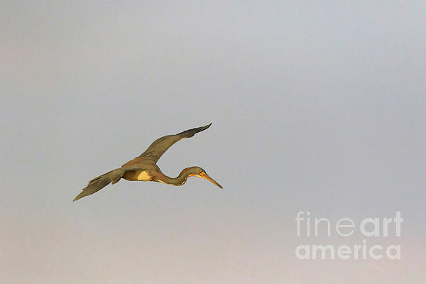 Tricolored Heron Photograph - Tricolored Heron In Flight by Louise Heusinkveld