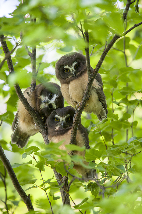 Alaska Photograph - Triple Cute Saw-whet Owls by Tim Grams