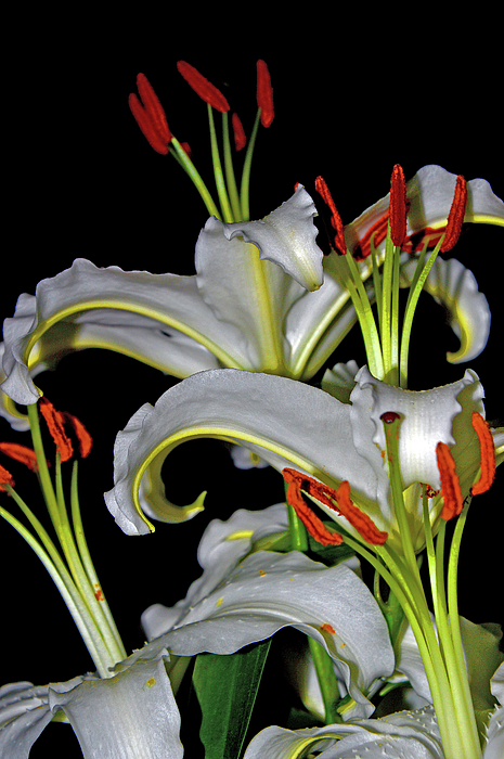 Liliaceae Digital Art - True Lilies by Andy Za