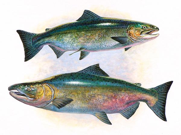 Salmon Painting - Tule Chinook Salmon by Shari Erickson