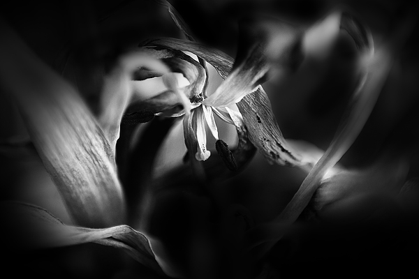 Black And White Photograph - Tulip 05 by Nora Batternay