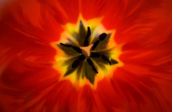 Tulip Photograph - Tulip Explosion Kaleidoscope by Teresa Mucha