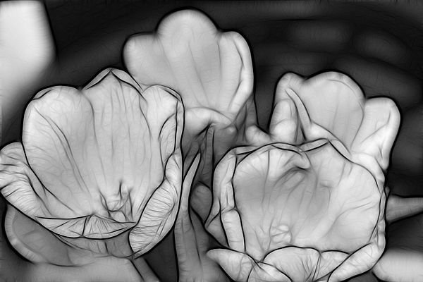Large Photograph - Tulip Line Study by Kevin  Sherf