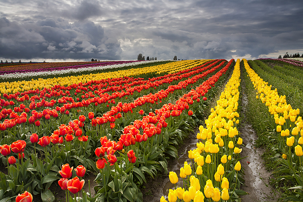 Tulips Photograph - Tulip Storm by Mike  Dawson