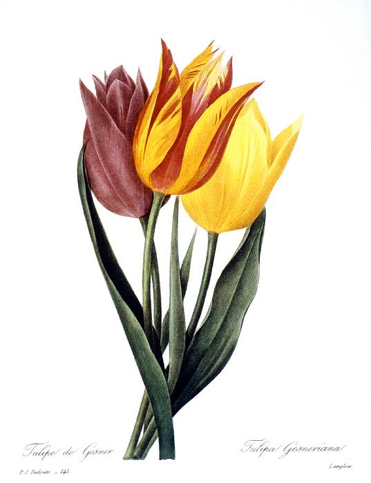 1833 Photograph - Tulip (tulipa Gesneriana) by Granger