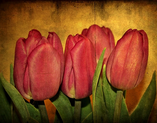 Tulips Photograph - Tulips Standing by Cathie Tyler