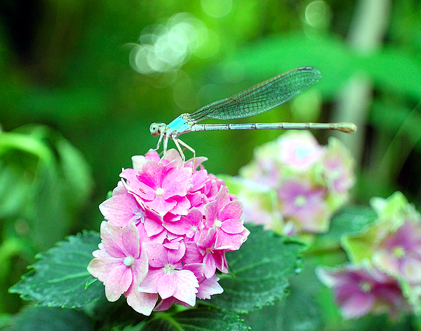 Dragonfly Photograph - Turquiose Dragonfly  And Hydrangea by Heather S Huston