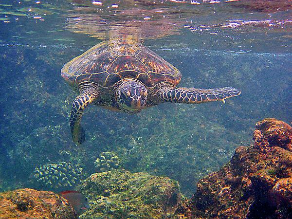 Hawaiian Sea Turtle Photograph - Turtle Approaching by Bette Phelan