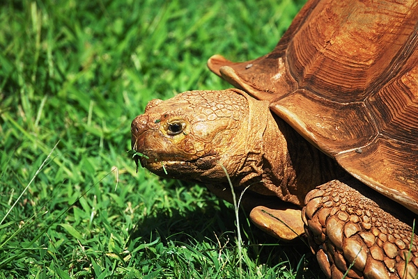 Turtle Photograph - Turtle by Lakida Mcnair