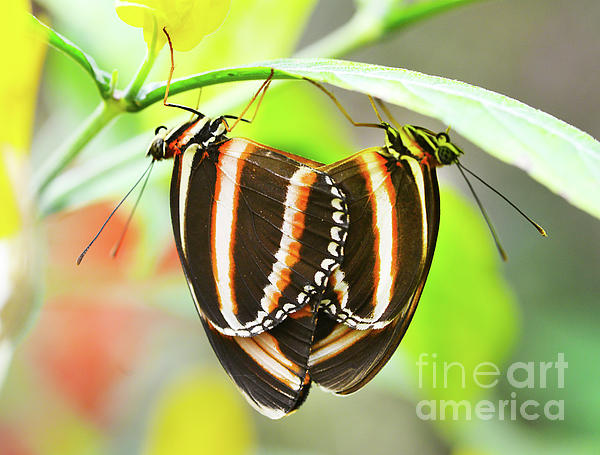 Butterfly Photograph - Twins by Arnie Goldstein