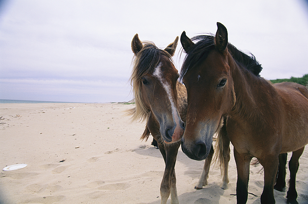 North America Photograph - Two Curious Wild Horses On The Beach by Nick Caloyianis