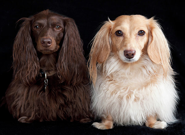 Horizontal Photograph - Two Dachshunds by Doxieone Photography