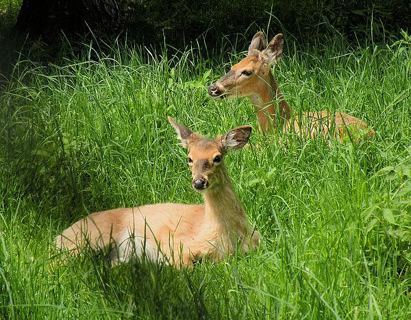 Deer Photograph - Two Deer In Tall Grass by Rosalie Scanlon
