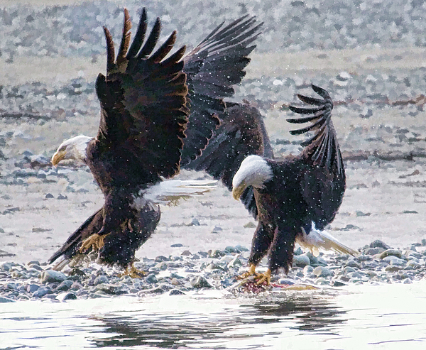 Eagle Photograph - Two Eagles by Clarence Alford