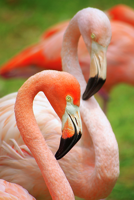 Acrobat Photograph - Two Flamingoes by Carlos Caetano