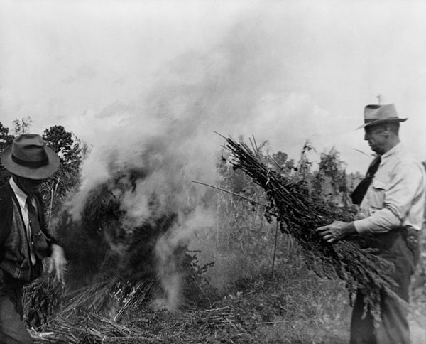 History Photograph - Two Men Burning Marijuana In Field by Everett