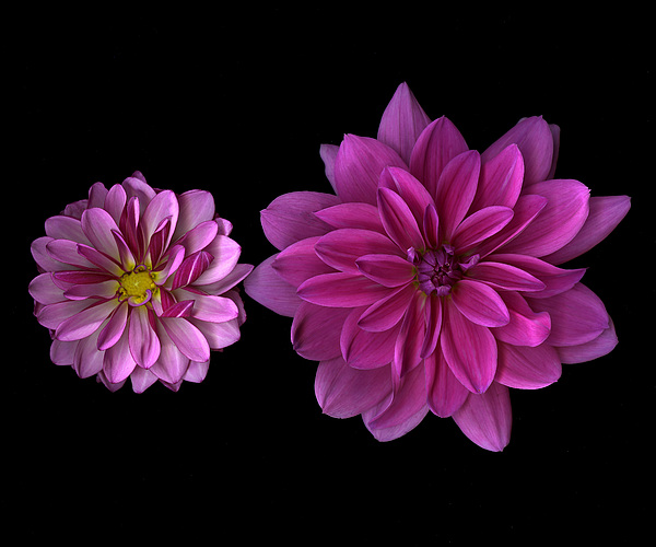 Dahlia Photograph - two pink Dahlias by Jeffrey  Sinnock