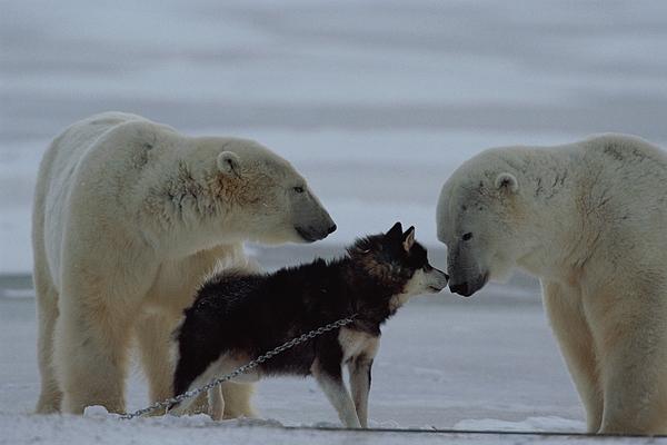 Polar Bears Photograph - Two Polar Bears Ursus Maritimus by Norbert Rosing