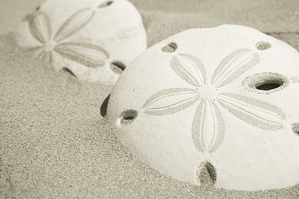 Baja California Photograph - Two Sand Dollars Rest In The Sand by Ralph Lee Hopkins