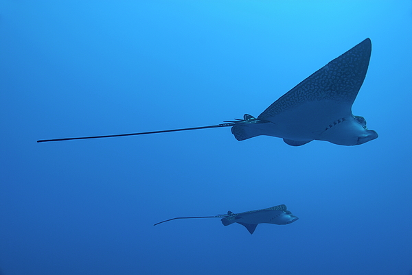 Horizontal Photograph - Two Swimming Spotted Eagle Rays Underwater by Sami Sarkis