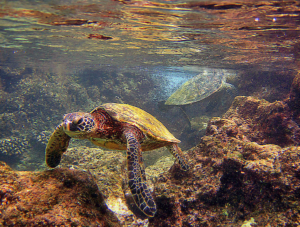 Hawaiian Sea Turtle Photograph - Two Turtles by Bette Phelan