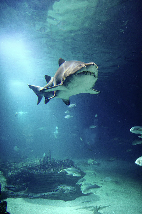 Vertical Photograph - Underwater View Of Shark And Tropical Fish by Rich Lewis