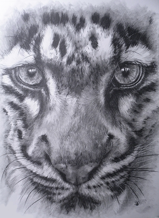 Leopard Drawing - Up Close Clouded Leopard by Barbara Keith