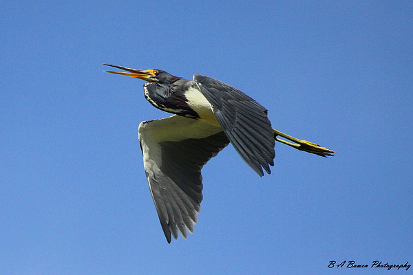 Tri-colored Heron Photograph - Up Up And Away by Barbara Bowen