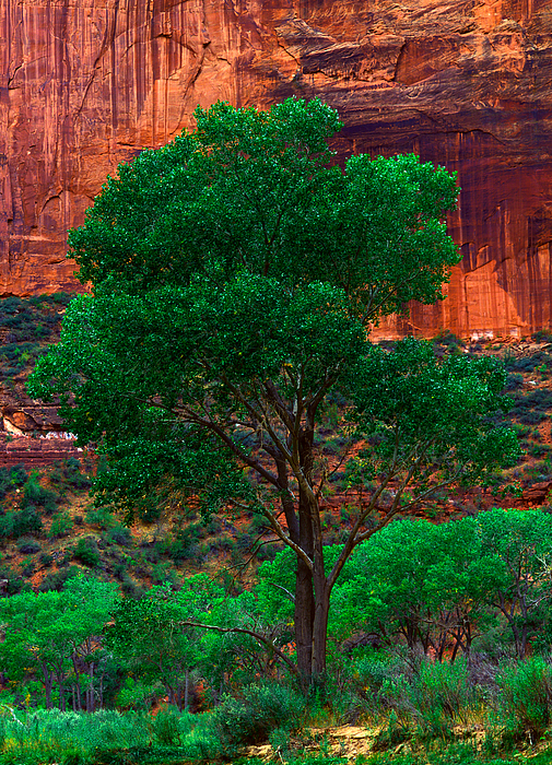 Virgin River Photograph - Utah - Cottonwood by Terry Elniski