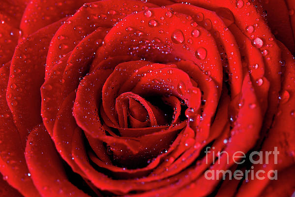 Rose Photograph - Valentine Swirl by Tracy Hall
