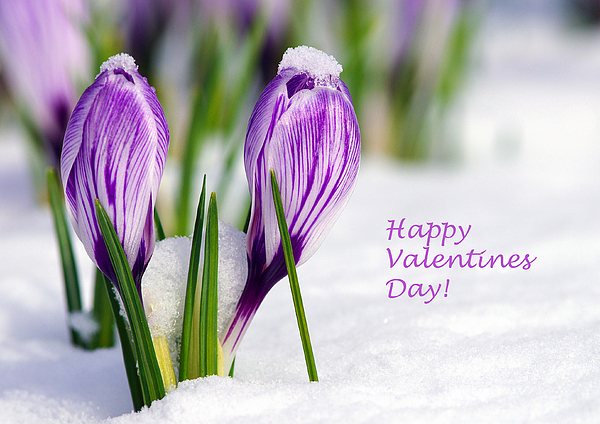 Crocus Photograph - Valentines Day Crocuses by Sharon Talson