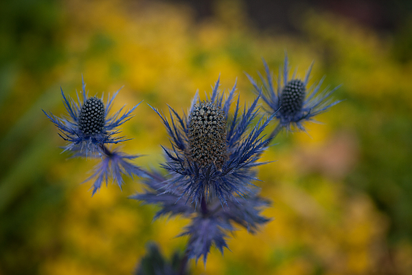 Flower Photograph - Vibrant Thistles by Mike Reid