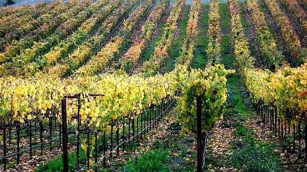 Vineyards Photograph - Vineyards In Healdsburg by Charlene Mitchell