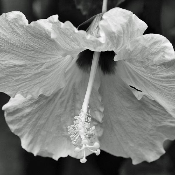 Hibiscus Photograph - Vintage Hibiscus II by Melanie Moraga