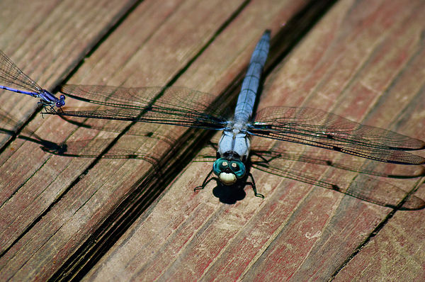 Dragonfly Photograph - Violet Dancer On A Great Blue Skimmer by Susan Isakson