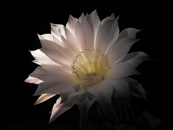 Night Blooming Cactus Photograph - Vivid Glow by David Harvey