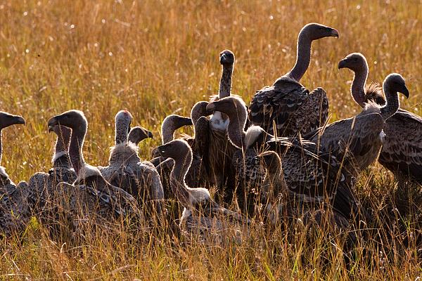 Masai Mara Photograph - Vultures by Paco Feria
