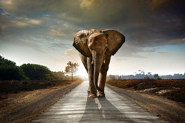 African Photograph - Walking Elephant by Carlos Caetano