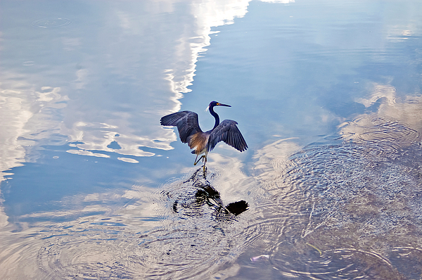 Heron Photograph - Walking On Water by Carolyn Marshall