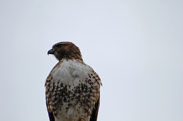 Hawk Photograph - Watching From Above by Jean Booth
