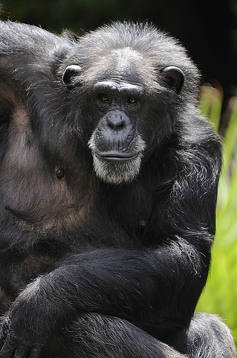 Chimp Photograph - Watching by Keith Lovejoy