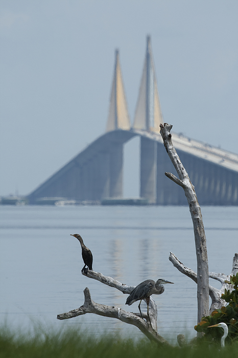 Birds Photograph - Water Birds On Tampa Bay by Carl Purcell