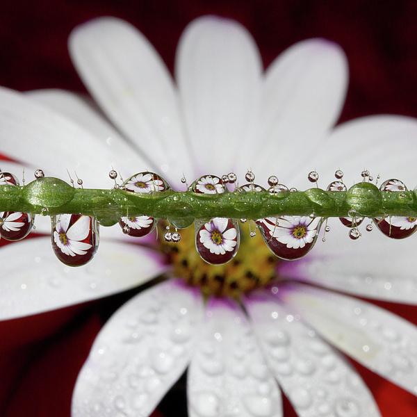 Square Photograph - Water Drops And Daisy by Dr T J Martin