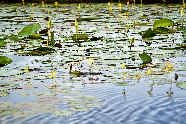 Lilies Photograph - Water Lilies by Sarita Rampersad