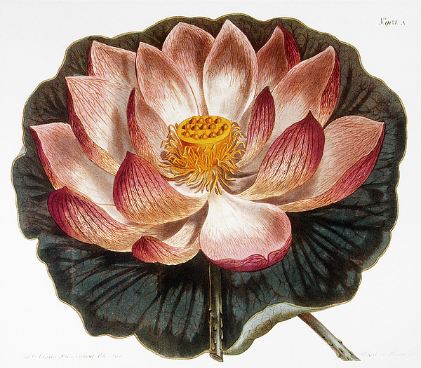 1806 Photograph - Water Lily, 1806 by Granger