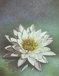 Floral Painting - Water Lily I by Bonnie Haversat
